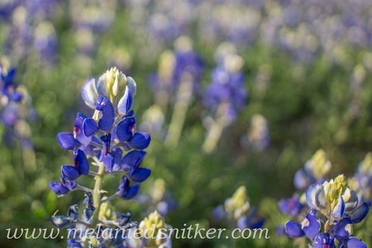 Texas Bluebonnets by Melanie D. Snitker